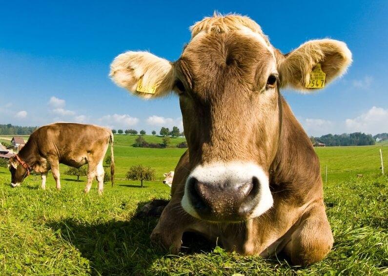 Naturalny ser koryciński podstaje z mleka krowiego